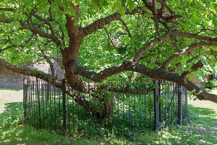 Vic Keegan's Lost London 112: James I's mulberry tree mistake