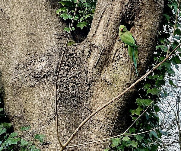 Parakeet outside its nest (hampstead heath)