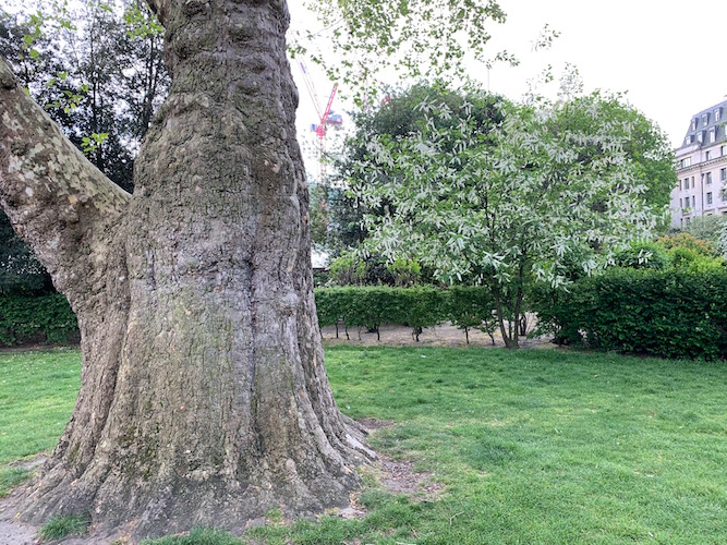 Vic Keegan's Lost London 91: The deep roots of the London plane tree